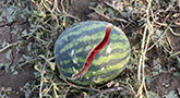 file/ELEMENTO_NEWSLETTER/18507/agricoltura_maltempo_anguria_270818.jpg